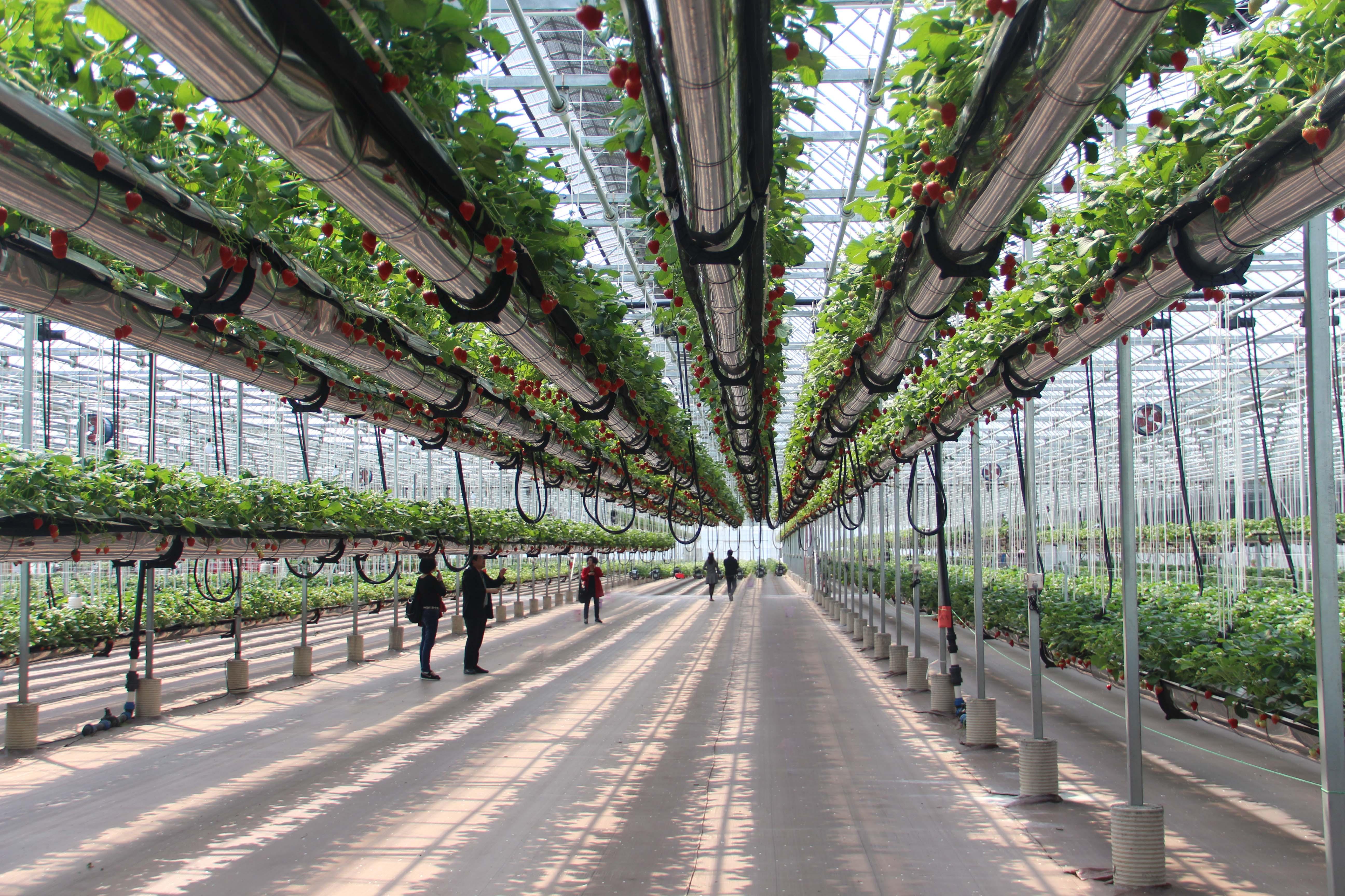 昊天机电-空中草莓栽培系统   照片