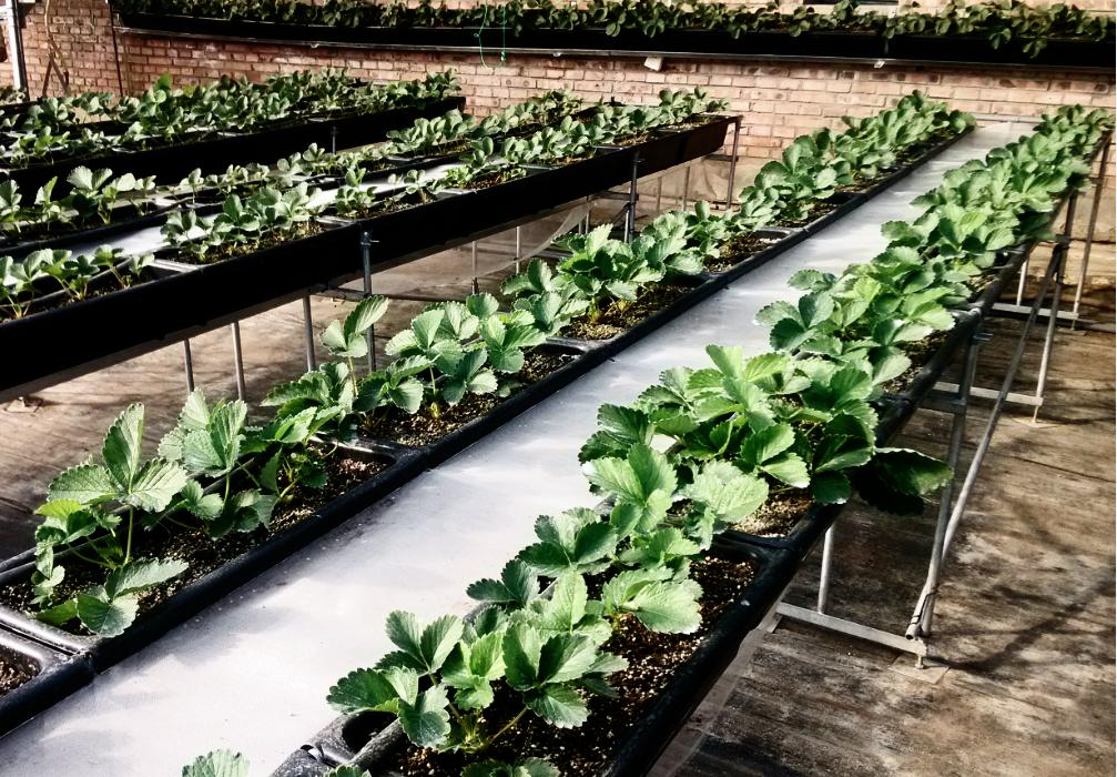 草莓双排栽培架(北京众博熙泰) 照片